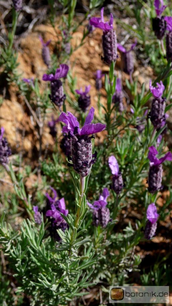 lavandula stoechas schopf lavendel garten pflanzen blumen gartenbetriebe g rtnereien. Black Bedroom Furniture Sets. Home Design Ideas