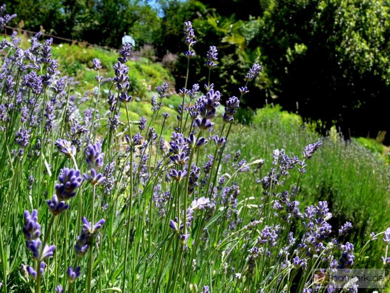 lavandula angustifolia echter lavendel garten pflanzen blumen gartenbetriebe g rtnereien. Black Bedroom Furniture Sets. Home Design Ideas