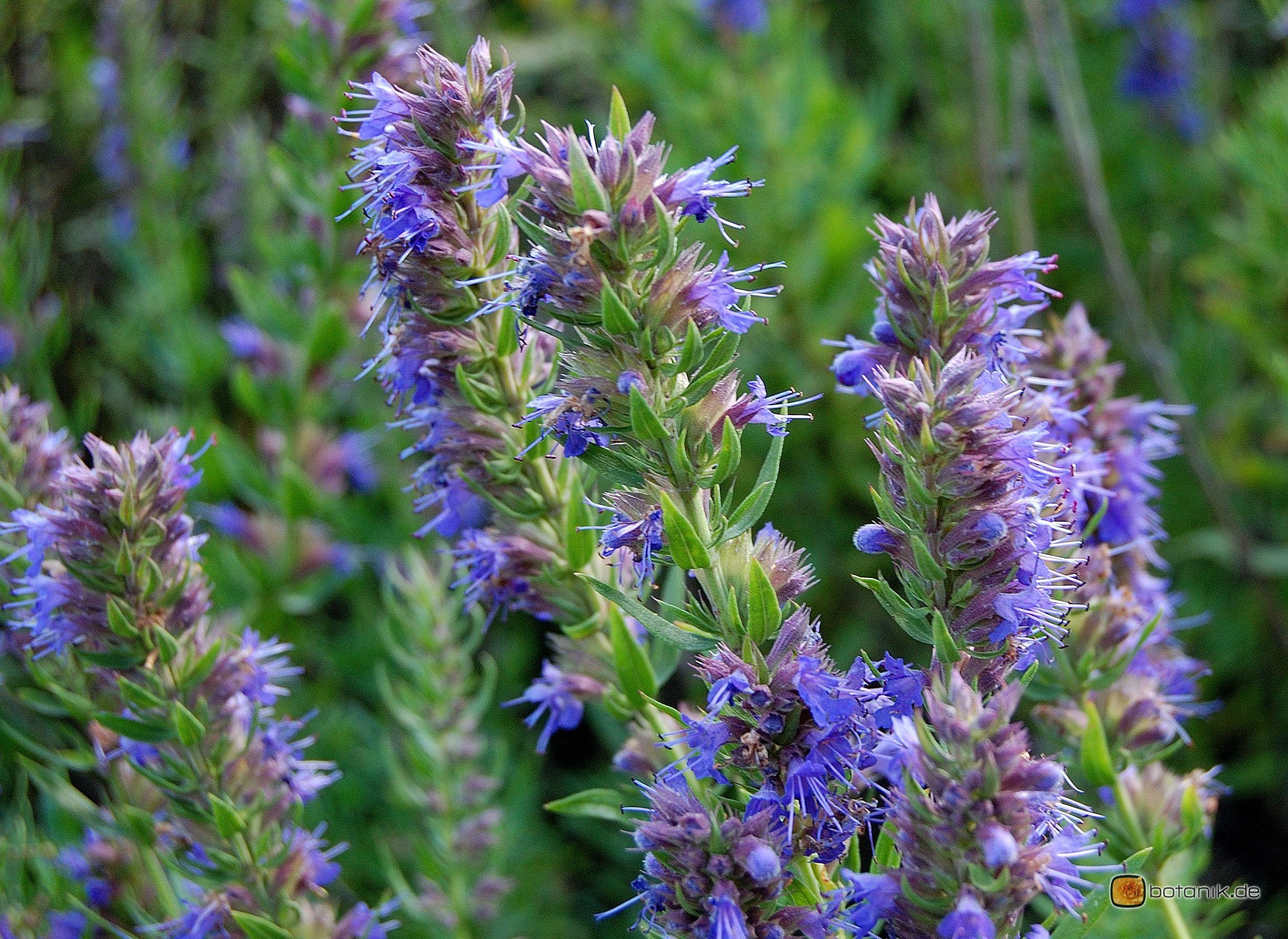 Hyssopus Officinalis Ysop Garten Pflanzen Blumen