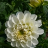Dahlia 'Orsett Beauty' -- Ball Dahlie 'Orsett Beauty'