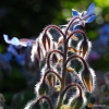 Borago officinalis -- Borretsch