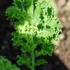 Brassica oleracea -- Gemüsekohl