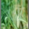 Hordeum vulgare -- Gerste