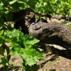 Vitis vinifera 'vinifera' -- Edle Weinrebe