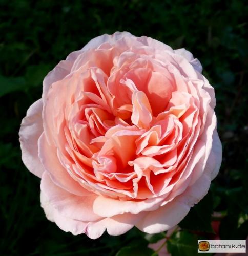 rosa 39 abraham darby 39 englische rose 39 abraham darby 39 garten pflanzen blumen gartenbetriebe. Black Bedroom Furniture Sets. Home Design Ideas