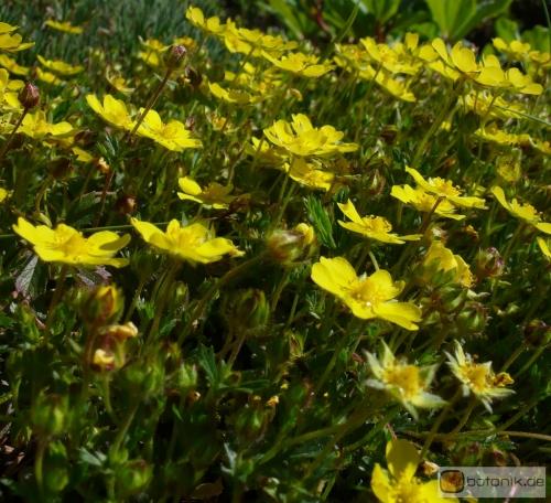 alyssum wulfenianum wulfens steinkraut garten pflanzen blumen gartenbetriebe g rtnereien. Black Bedroom Furniture Sets. Home Design Ideas