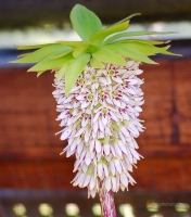 Eucomis bicolor -- Ananaslilie