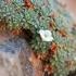 Androsace vandelli -- Vandell-Mannsschild