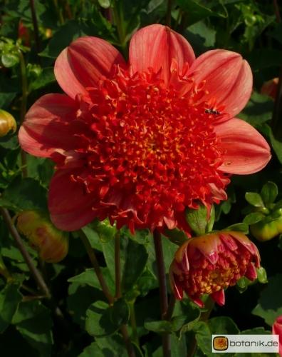 Dahlia Brio -- Anemonenblütige Dahlie Brio