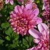 Anemonenblütige Dahlie Diamond Rose