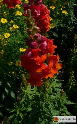 Antirrhinum majus 'Hohes Lied Flammengold' -- Löwenmäulchen