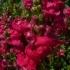 Antirrhinum majus 'Hohes Lied Heidebluete' -- Garten-Löwenmaul