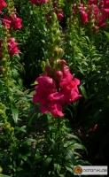 Antirrhinum majus 'Hohes Lied Heidebluete' -- Löwenmäulchen