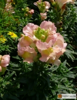 Antirrhinum majus 'Peaches and Cream' -- Löwenmäulchen