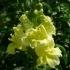 Antirrhinum majus 'Madame Butterfly' -- Großes Löwenmaul