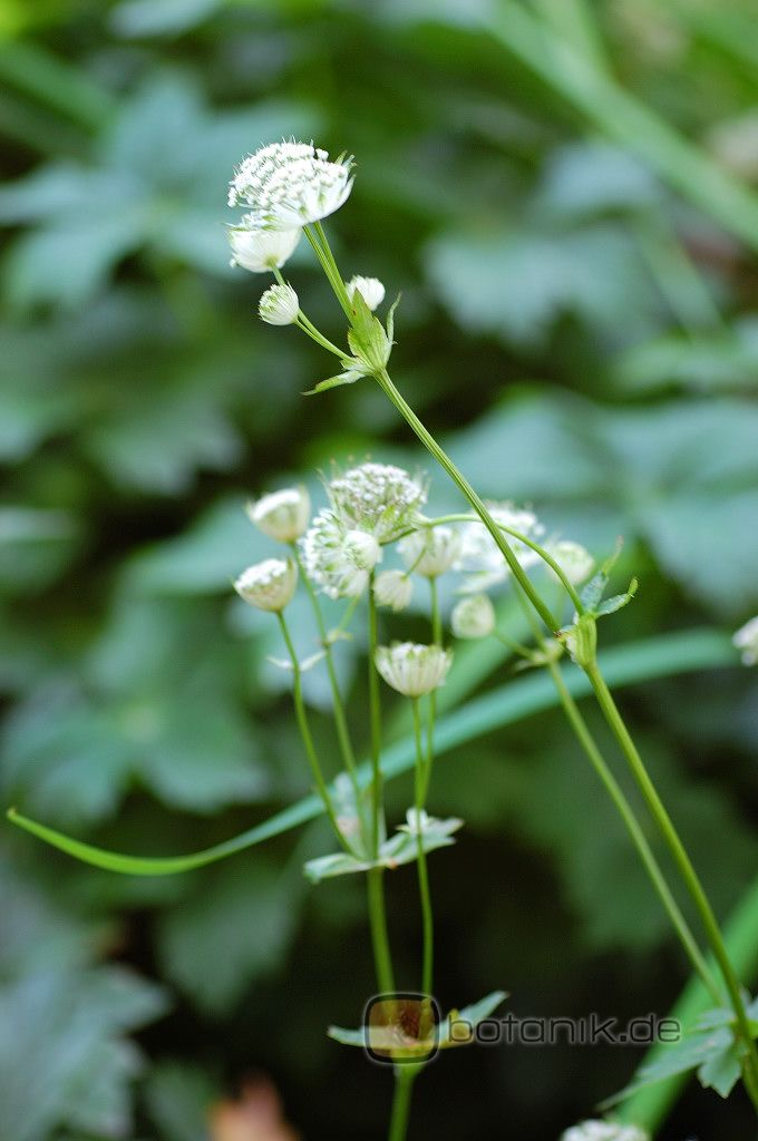 Astrantia major ssp involucrata -- Grosse Sterndolde Shaggy