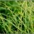 Bunias orientalis -- Orientalische Zackenschötchen