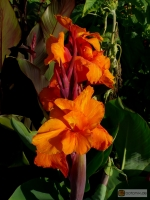 Canna indica Hybride Singapore Girl -- Blumenrohr 'Singapore Girl'