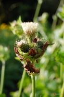 Cirsium oleraceum -- Kohldistel