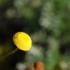 Cotula lineariloba -- Laugenblume