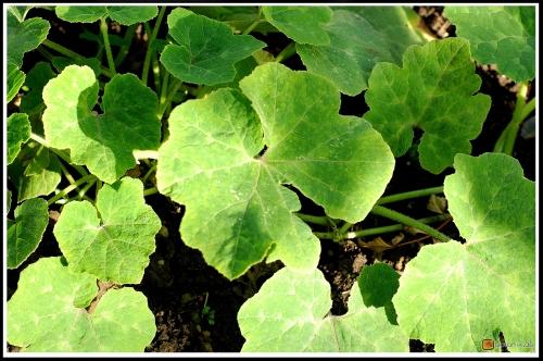 Cucurbita ficifolia -- Feigenblattkürbis