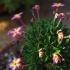 Dionysia papagena