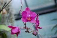 Doritaenopsis Brother Tom Walsh Rossini