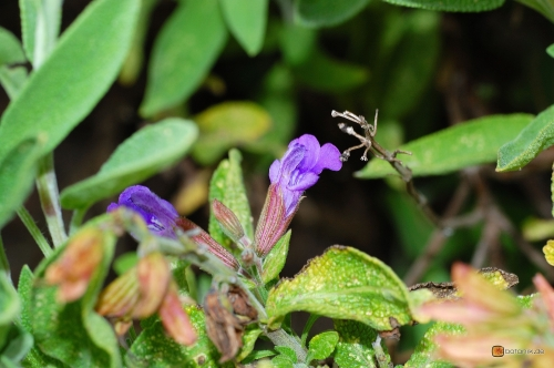 Salvia officinalis -- Echter Salbei