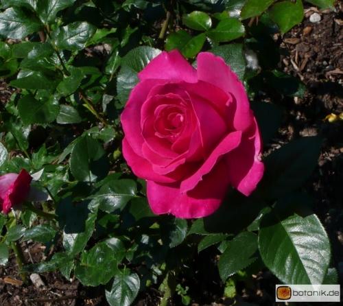 Edelrose Baronne Edmond de Rothschild
