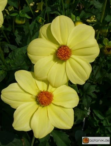 Einfache Dahlie 'Yellow-Sneezy'