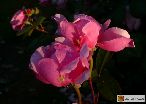 Englische Rose 'Brother Cadfeal' --