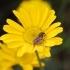 Anthemis tinctoria -- Färber Hundskamille