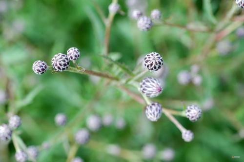 Serratula tinctoria -- Färberscharte