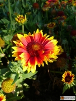 Gaillardia aristata Arizona Sun