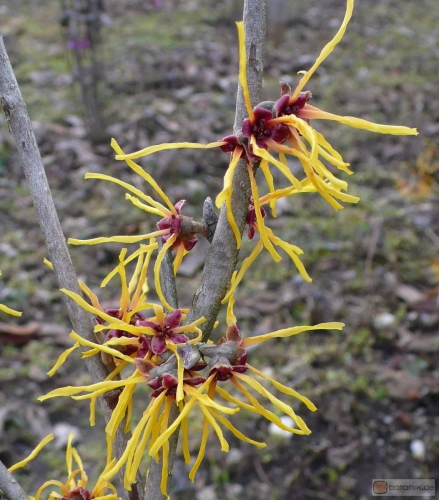 Hamamelis 'Winter Beauty' -- Zaubernuss