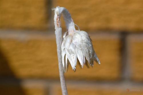 Helichrysum ecklonis -- Ecklons Strohblume