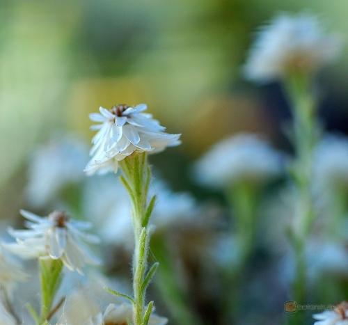 Helichrysum frigidum -- Korsische Strohblume