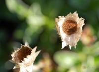 Helichrysum marginatum -- Strohblume
