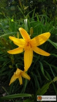 Hemerocallis 'Gold Dust' -- Kulturform Gold Dust