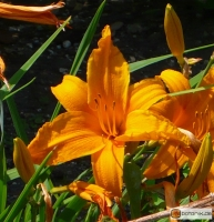 Hemerocallis Kulturform Burning Daylight