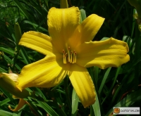 Hemerocallis Kulturform Hazel Powel