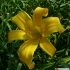 Hemerocallis Kulturform Midwest Majesty