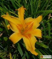 Hemerocallis Kulturform Nashville
