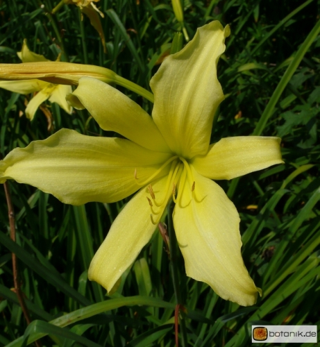 Hemerocallis-Kulturform-North-Star