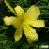 Hemerocallis Kulturform Shooting Star