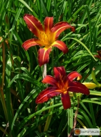 Hemerocallis Kulturform Crimson Pirate -- Taglilie