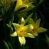 Hemerocallis lilioasphodelus -- Gelbe Taglilie