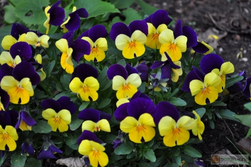 Viola cornuta -- Hornveilchen