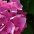 Hydrangea macrophylla 'Altona' -- Gartenhortensie 'Altona'