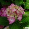 Hydrangea macrophylla Atlantic -- Gartenhortensie 'Atlantic'